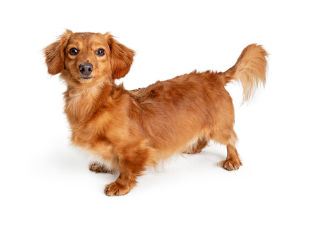 Photo for Cute little longhair Dachshund crossbreed dog standing on white looking at camera - Royalty Free Image