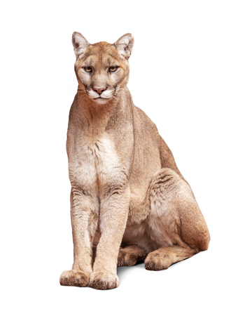 Foto de Mountain Lion sitting looking at camera. Isolated on white. - Imagen libre de derechos