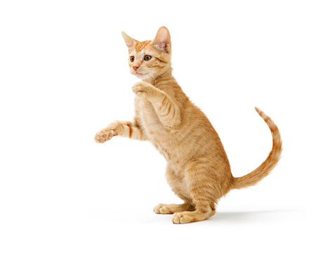 Photo pour Cute frisky orange striped kitten sitting up raising arms to bat paws and play. Isolated on white. - image libre de droit