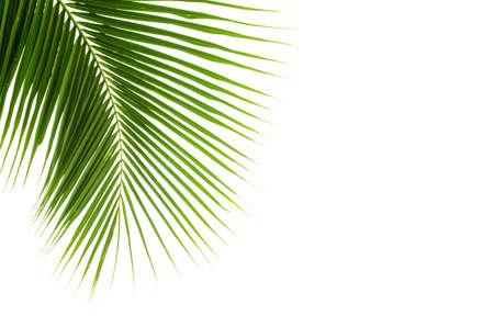 Photo pour Coconut leaves on white background - image libre de droit