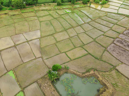 Foto de Farmers are planting rice field, Top view aerial photo from drone of Rice fields with cottages - Imagen libre de derechos