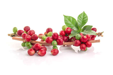 Photo pour Red coffee beans on a branch of coffee tree, ripe and unripe berries isolated on white background - image libre de droit