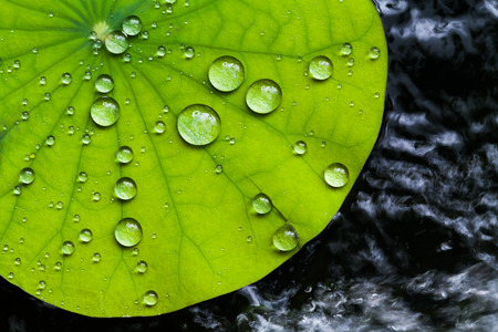 Photo pour Water droplets on Lotus leaf - image libre de droit