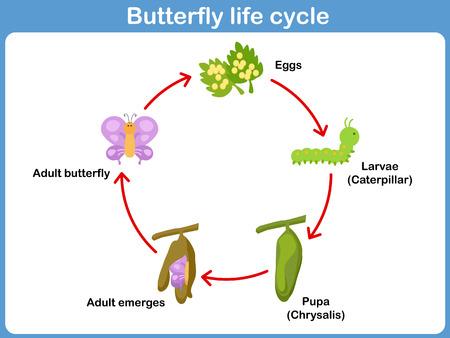 Illustration pour Vector Life cycle of a butterfly for kids - image libre de droit