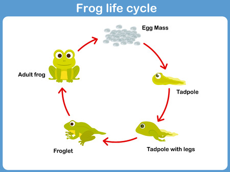 Foto de Vector Life cycle of a frog for kids - Imagen libre de derechos
