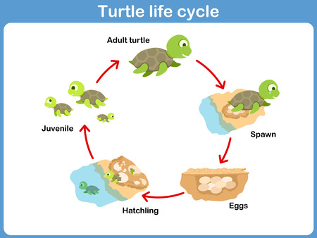 Foto de Vector Cycle of turtle for kids - Imagen libre de derechos