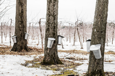 Photo for Forest of Maple Sap buckets on trees in spring - Royalty Free Image