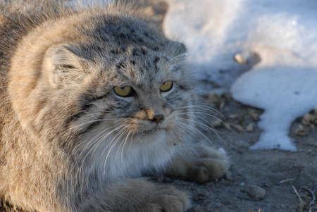 Wild cat manul - endangered inhabitant of the Mongolian steppes