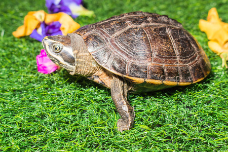 Photo for turtle on green grass texture background eco concept, asia, thailand - Royalty Free Image