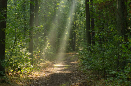 Foto de pathway in morning forest with sunbeams - Imagen libre de derechos