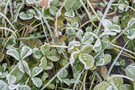 Photo for closeup to green leaves under hoarfrost - Royalty Free Image