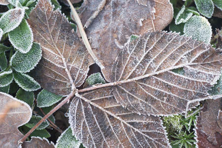 Photo for leaves covered with hoarfrost closeup - Royalty Free Image