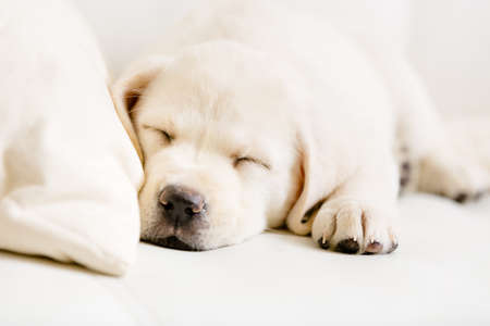 Photo pour Close up of sleeping puppy of labrador on the white leather sofa - image libre de droit