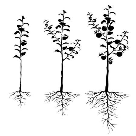 Illustration pour Vector illustrations of silhouette seedling apple trees with roots and fruits set - image libre de droit