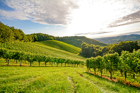 Photo for Vines in a vineyard in autumn - Wine grapes before harvest - Royalty Free Image