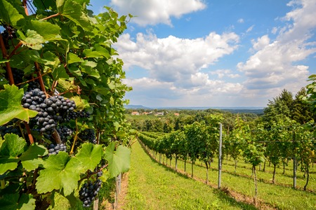 Photo for Southern Styria Austria - Red wine: Grape vines in the vineyard before harvest - Royalty Free Image