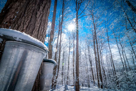Photo for Maple sap buckets wait to be filled in March Sun. - Royalty Free Image