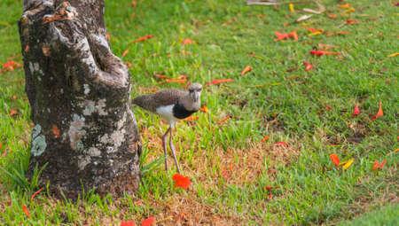 Foto de Immature Southern Lapwing (Vanellus chilensis) bird comes out from hiding behind a tree. - Imagen libre de derechos
