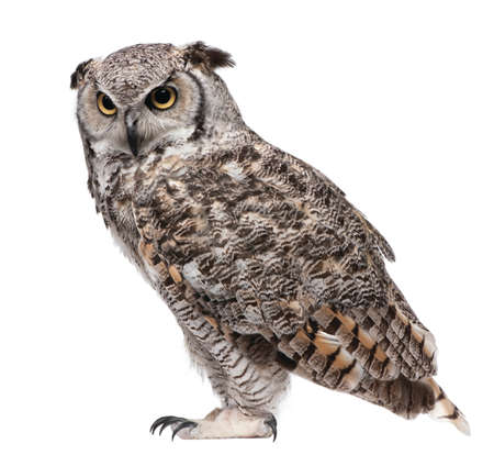 Photo pour great horned owl isolated on white background - image libre de droit