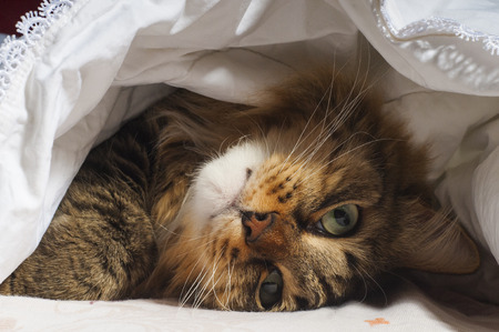 Photo pour Cute cat lying in bed under a blanket. Fluffy pet comfortably settled to sleep. Cozy home background with funny pet. - image libre de droit