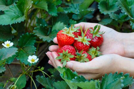 Foto de Fresh strawberries handpicked from a strawberry farm - Imagen libre de derechos