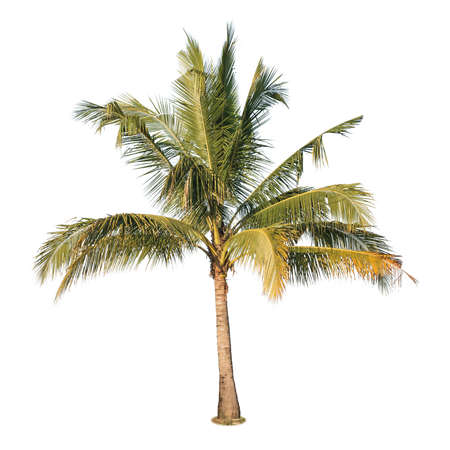 Photo for A photo of coconut tree on isolated white background - Royalty Free Image