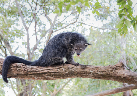 Foto de Binturong or bearcat (Arctictis binturong) sitting on the branch of tree  in nature - Imagen libre de derechos