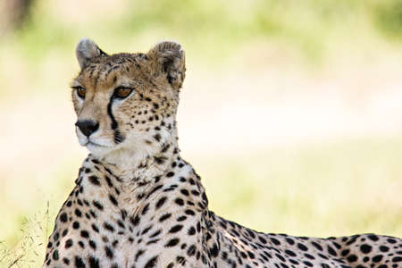 Photo pour Cheetah portrait in Massai Mara, Kenya. - image libre de droit