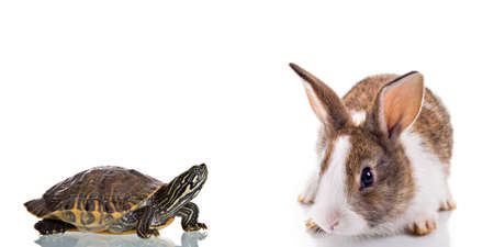 Photo for Cute Bunny and Turtle, isolated on white background. Concept: Competition - Royalty Free Image