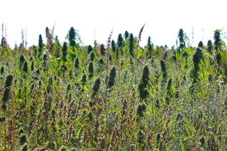 Foto de Side view of a non-narcotic hemp field growing outdoors. - Imagen libre de derechos