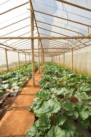 vegetable farm, indoor cabbage and salad vegetable farm in Thailand