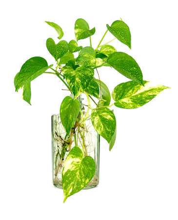 Photo pour Golden pothos grown in clear glass bottles. - image libre de droit