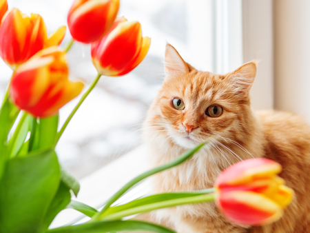 Photo pour Cute ginger cat with bouquet of red tulips. Fluffy pet with colorful flowers. Cozy spring morning at home. - image libre de droit