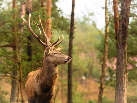 Photo pour Majestic powerful adult male red deer stag in autumn fall forest. Animals in natural environment, beauty in nature. - image libre de droit