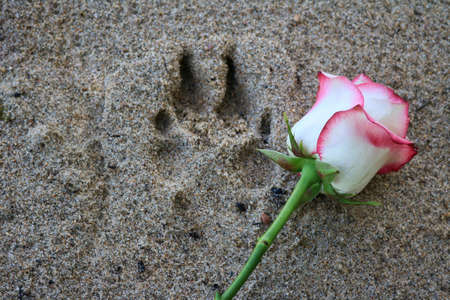 Photo pour Pink rose beside a dog paw print in the beach sand. - image libre de droit