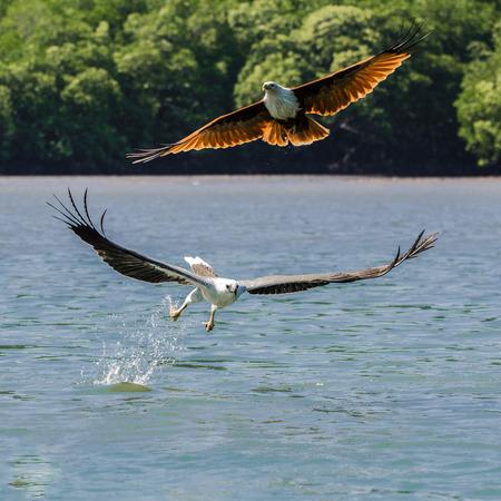 Photo pour Focus shot of two eagle soaring Kilim Geoforest park located in Langkawi - image libre de droit