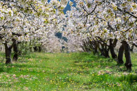 Photo pour Cherry blossoms at Caderechas valley, Spain - image libre de droit