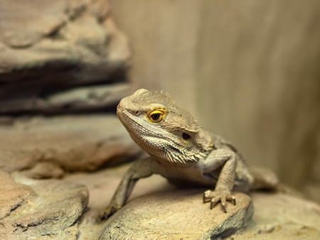 Photo for bearded dragon (agama lizard) - Royalty Free Image