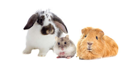 Photo pour rabbit and the hamster and guinea pig looks - image libre de droit
