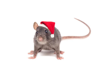 Foto de rat in a New Year's hat on white background - Imagen libre de derechos