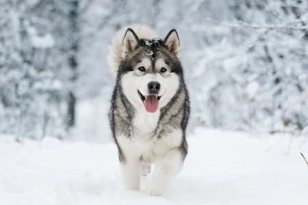 Foto de winter malamute dog - Imagen libre de derechos