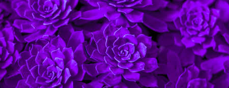 Photo for Background of succulent. Photo processing in purple style - Royalty Free Image