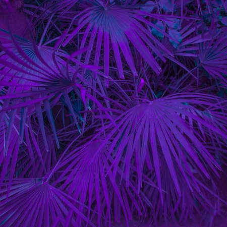 Photo for Background of palm leaves. Photo processing in purple style - Royalty Free Image