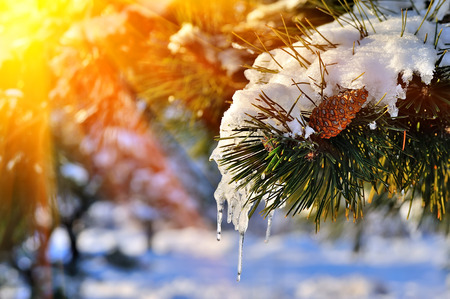 Foto per Pine branch in snow. Winter sunset in the forest. - Immagine Royalty Free