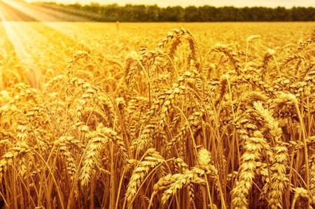 Foto de Field of wheat and sun - Imagen libre de derechos