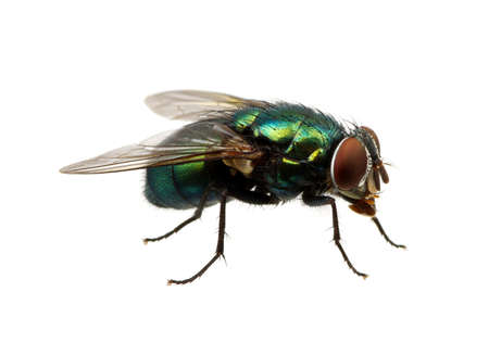 Foto de green fly isolated on white - Imagen libre de derechos