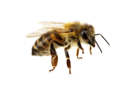 Photo pour Bee isolated on the white - image libre de droit