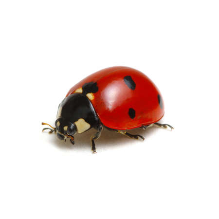 Foto de Ladybug isolated on white background - Imagen libre de derechos