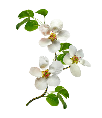 Photo for White pear flowers branch isolated on white background - Royalty Free Image