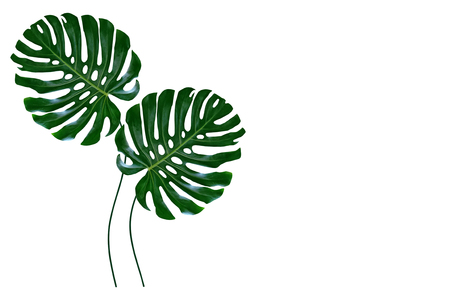 Photo for green leaf of a tropical flower monstera isolated on white background. - Royalty Free Image